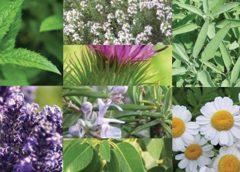 Tıbbi aromatik bitkiler ve 'iyi yaşam'